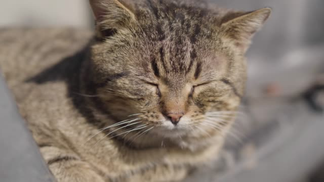 close-up of grey cat warming under sunrays on sunny summer day. pleased pet closing eyes and turning face to sun. leisure, animals, wildlife. - gatto soriano video stock e b–roll