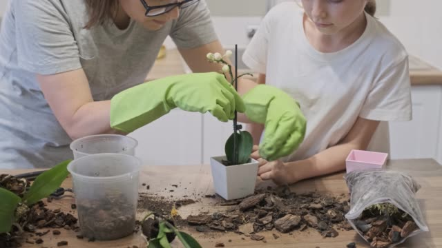 Closeup of hand child daughter and mother planting orchids in flower pots together, family at home in the kitchen. Closeup of hand child daughter and mother planting orchids in flower pots together, family at home in the kitchen. flower pot stock videos & royalty-free footage