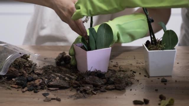 nahaufnahme von hand kind tochter und mutter pflanzen orchideen in blumentöpfe zusammen, familie zu hause in der küche. - orchidee stock-videos und b-roll-filmmaterial