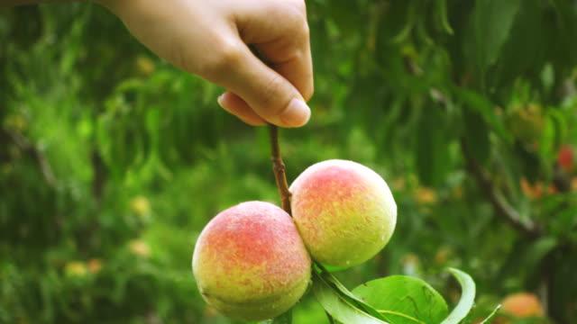 close-up of hand holds a bunch of peach fruits. - brzoskwinia drzewo owocowe filmów i materiałów b-roll