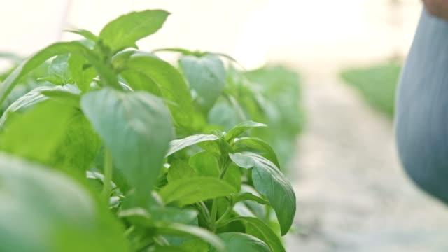 närbild av hand plocka basilika blad i ett växthus - basilika ört bildbanksvideor och videomaterial från bakom kulisserna