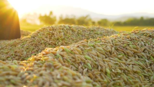 nahaufnahme der heap paddy reis getreide nach der ernte mit sonnenschein abends. - reis getreide stock-videos und b-roll-filmmaterial