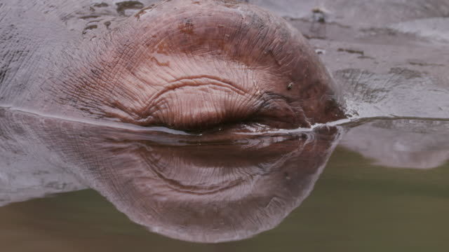 Close-up of hippo's eye video