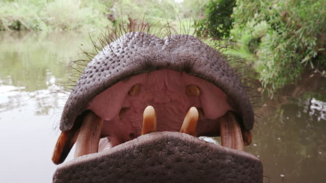 Close-up of hippo's open mouth and teeth video