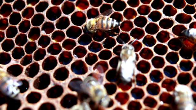 Close-up of honey bee frame covered with bees video