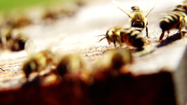 Close-up of honey bee frames covered with bees video