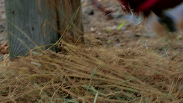 Close-up of horse eating a dry grass video