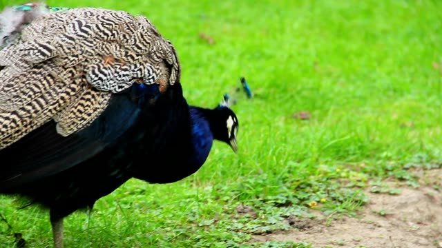Close-up of Indian blue peacock hunting insects in green grass. Beautiful shot of Europe, culture and landscapes. Traveling sightseeing, tourist views landmarks of Czech Republic. World travel, west European trip cityscape, outdoor shot video
