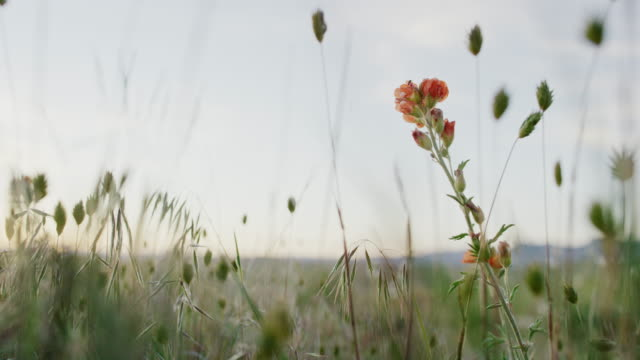 Close-Up of Indian Paintbrush Flowers and Grasses Swaying Gently in the High Desert at Sunset