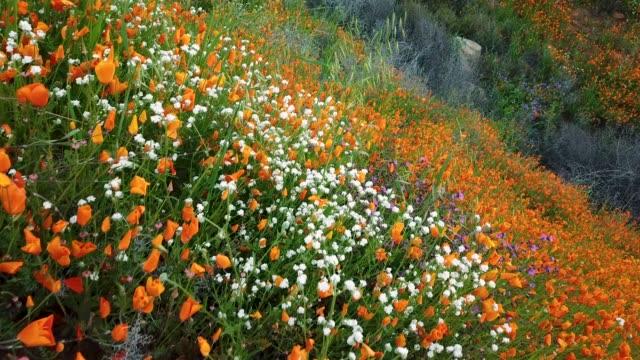 vídeos y material grabado en eventos de stock de primer plano de la ladera del lago elsinore con superbloom de flores silvestres de california - amapola planta