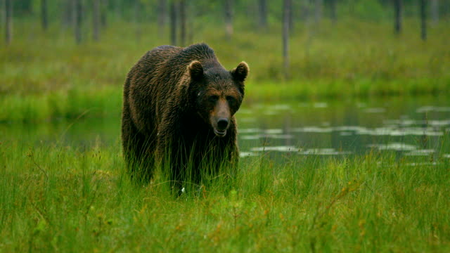 close-up of large adult brown bear walking free in the forest at night - bear stock videos and b-roll footage