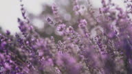 istock Close-up of lavender flowers blooming in farm 1158225574
