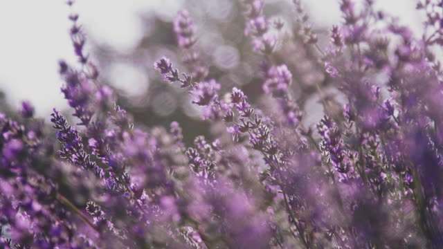 vídeos de stock e filmes b-roll de close-up of lavender flowers blooming in farm - violeta flor