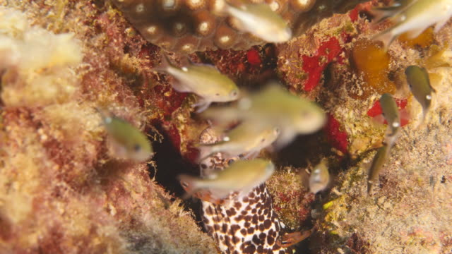 Close-up of Moray Eel as a part of the coral reef in the Caribbean Sea around Curacao Close-Up in coral the reef around Curaçao /Netherlands Antilles cleaner shrimp stock videos & royalty-free footage