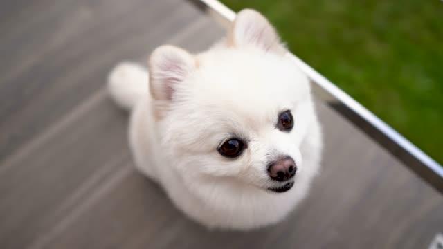 vídeos y material grabado en eventos de stock de primer plano de un pequeño cachorro pomerania blanco sentado y mirando a la cámara. - peludo