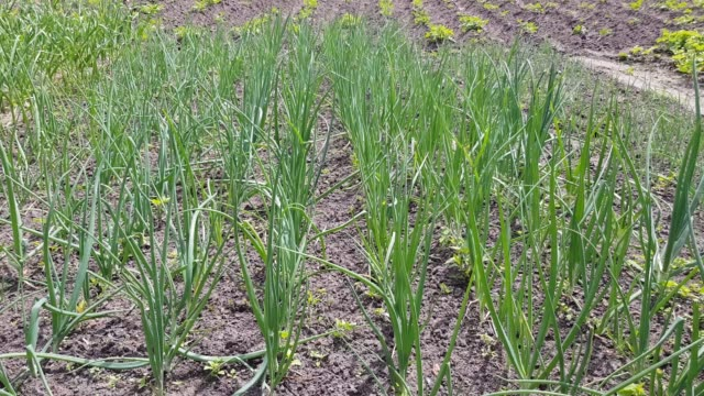 Close-up of onion plantation sprouts in early spring. video