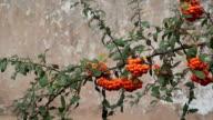 istock Closeup of orange Rowan berries or Mountain Ash tree with ripe berries in autumn. 876085212