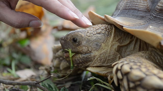 Close-up of owner hand touching african spurred tortoise 's head while eating. Close-up of owner hand touching african spurred tortoise 's head while eating. tortoise stock videos & royalty-free footage