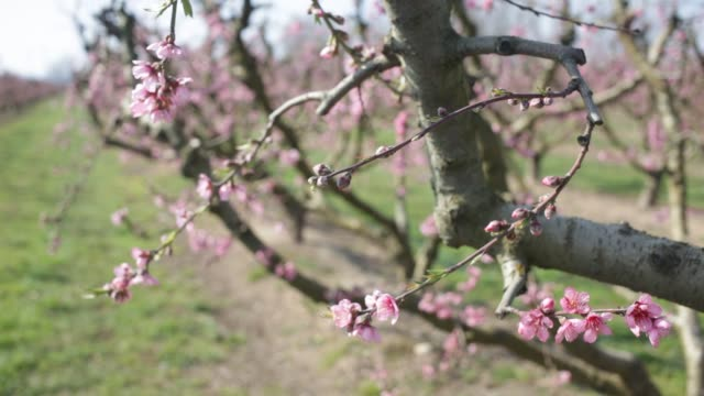 closeup of peach flowers on tree branches - stame video stock e b–roll