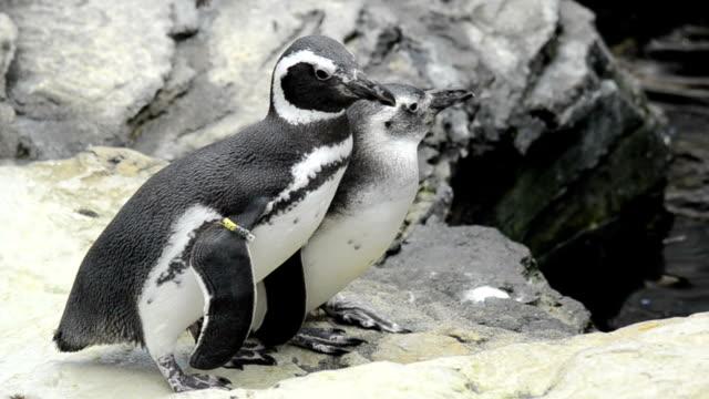 closeup of pengin couple - pingwin filmów i materiałów b-roll