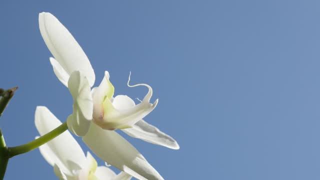 Close-up of Phalaenopsis amabilis flower petals 4K