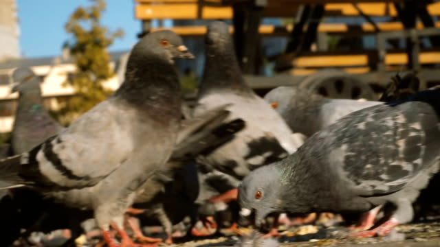 Close-up of pigeons standing and fed