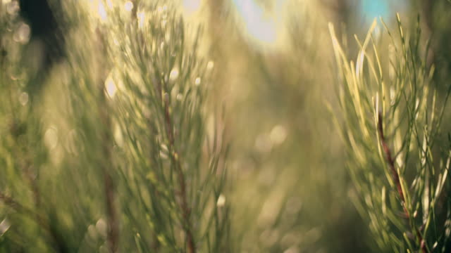 Closeup of pine tree Closeup of pine tree pine tree stock videos & royalty-free footage
