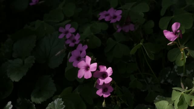 Close-up of pink buds of Oxalis articulata plant slow motion