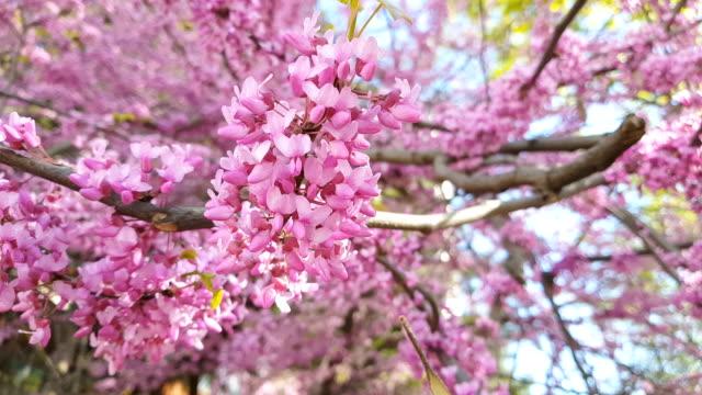 Closeup of pink flower clusters of an Eastern Redbud tree in full bloom. video