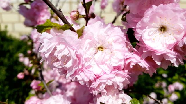 Closeup of pink flower clusters of an flowering plum or flowering almond in full bloom video