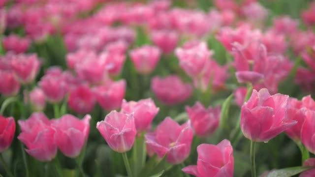 nahaufnahme von rosa tulpen und hintergrunddolly schuss und zeitlupe - vier jahreszeiten stock-videos und b-roll-filmmaterial