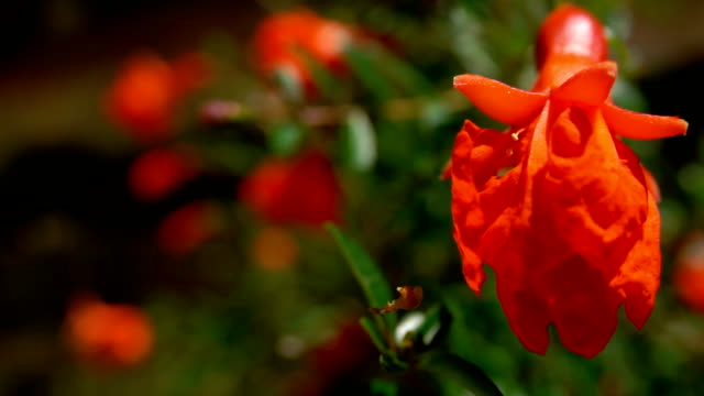 Closeup of pomegranate flower.