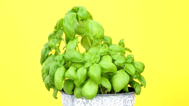 closeup of pot with basil on rotating plate with yellow background closeup of pot with basil on rotating plate with yellow background basil stock videos & royalty-free footage