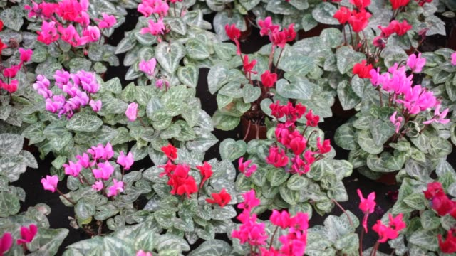 Closeup of potted bushes of Cyclamen persicum