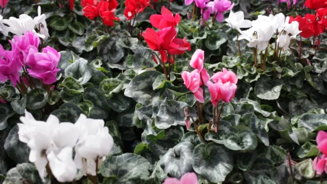Closeup of potted bushes of Cyclamen