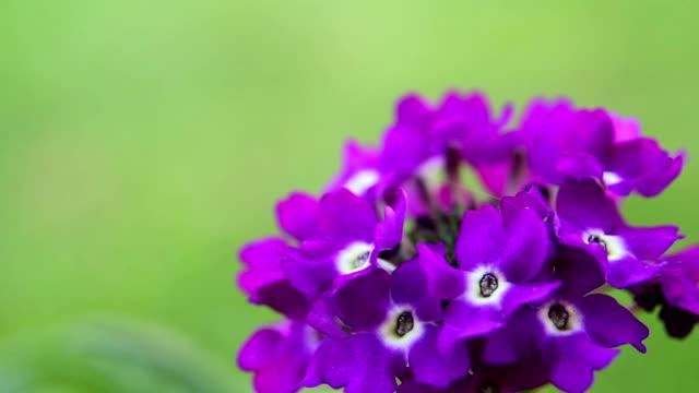 Close-up of Purple Verbena 07