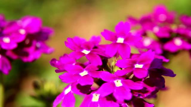Close-up of Purple Verbena 09