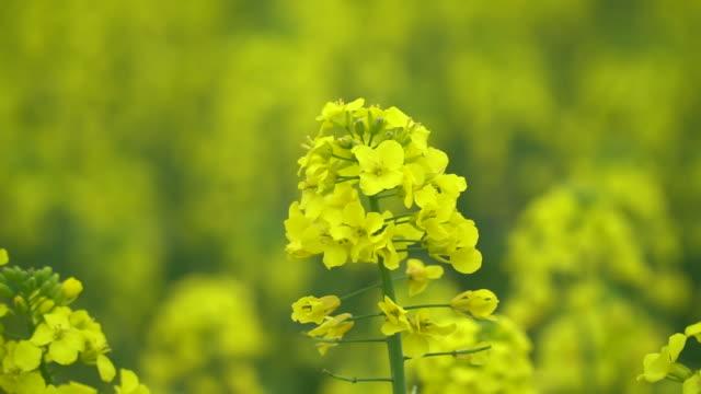 primo piano di fiore di colza in un campo - canola video stock e b–roll