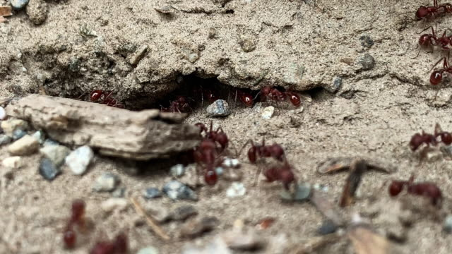 close-up of red ants going in and out of their dirt nest/colony underground outdoors - insetto video stock e b–roll