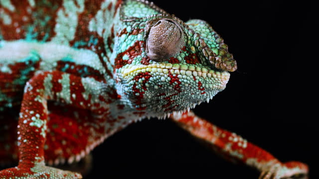 closeup of red, green and blue panther chameleon moving its eyes - zwierzęce oko filmów i materiałów b-roll