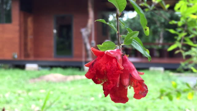 Close-up of red pomegranate flower on tree