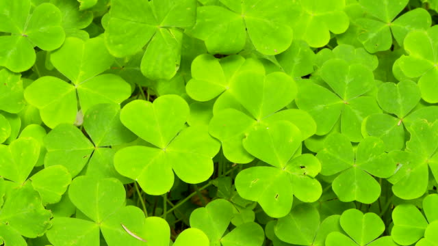 stockvideo's en b-roll-footage met closeup of redwood sorrel - klavertje vier