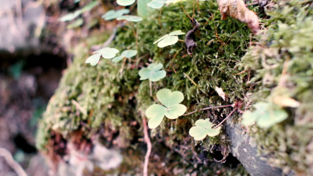 Closeup of redwood sorrel