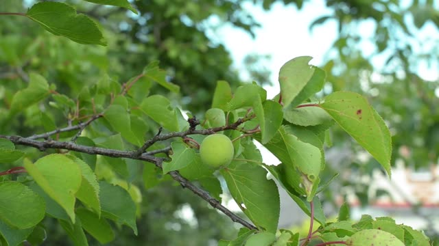 closeup of resh unripe green apricot fruit hanging on tree - albicocco video stock e b–roll