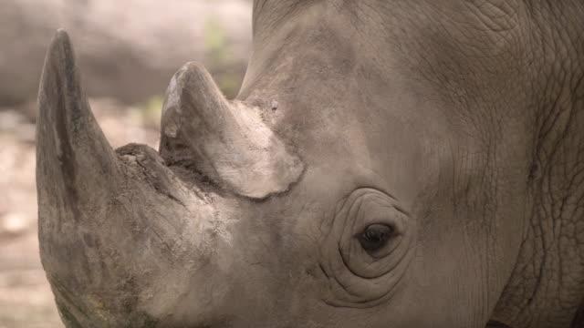 närbild av rhinoceros - utdöd bildbanksvideor och videomaterial från bakom kulisserna