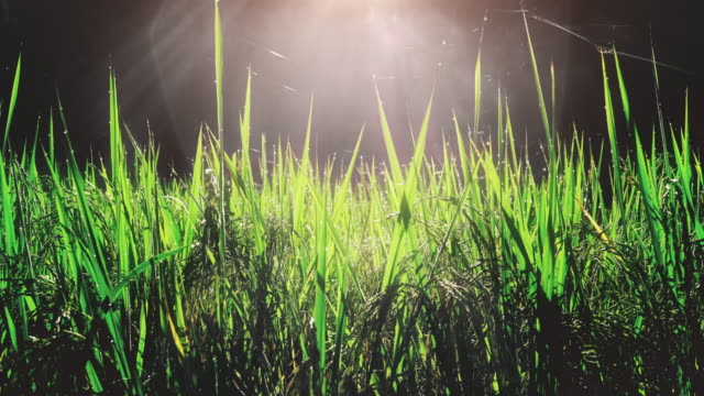 Close-up of rice plant in the morning with sun light