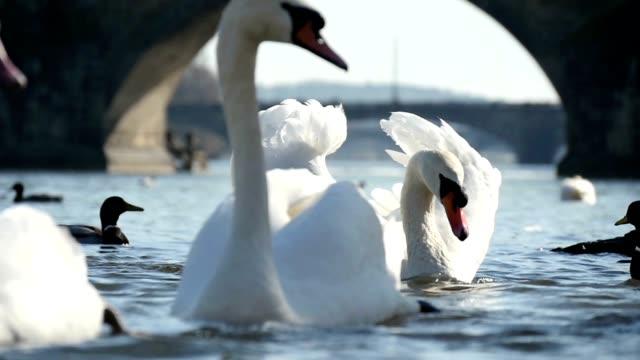 vidéos et rushes de gros plan de plusieurs cygnes blancs sur la rivière vltava dans une journée ensoleillée au ralenti - prague