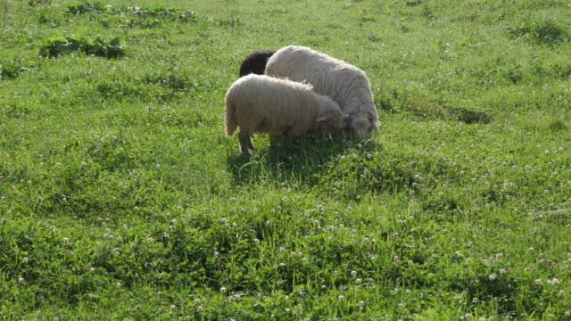 Close-up of sheep grazing on grass video