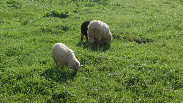 Close-up of sheep pasturing on grass video