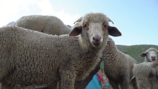 Close-up of sheep's
